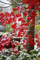 Japanese Maple Tree and Frozen Bird Bath in the Snow