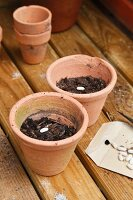 Beans planted in flowerpots