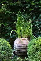 Amphora of reed-like plants between two box balls in courtyard