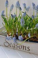 Tray with grape hyacinths