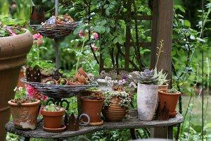 House leeks in various pots