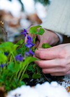 Pansies in flowerpots