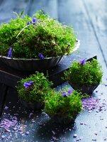 Moss and violets in vintage tartlet tins