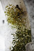 Sprigs of mistletoe hanging hanging on old stone wall