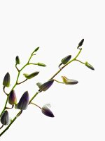Orchid sprigs with closed flower buds