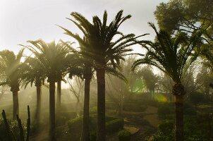 Morning mist in Mediterranean palm tree garden