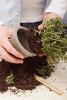 Oregano being repotted