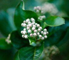 Flowering Aronia bush