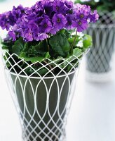 Violet geraniums in a plant pot with decorative white metal wicker pot