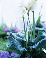 White calla lilies in a plant pot