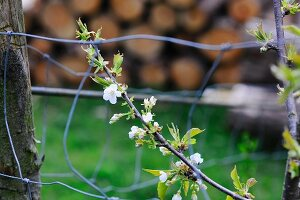 Young cherry tree branch with white blossom in the garden