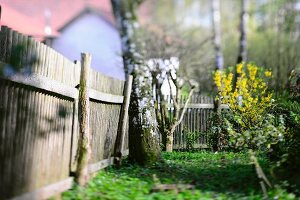 Tilt-shift-style photo of garden plot with wooden fence and birches