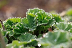 Close up of lady's mantle with dew drops on the leaf edges