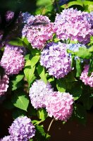 Pink and lilac flowering hydrangeas in garden