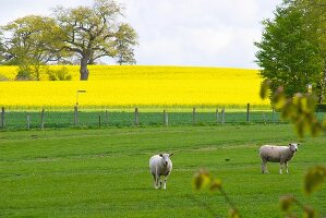 Field of flowering oilseed rape with trees and two sheared sheep in fenced meadow in foreground