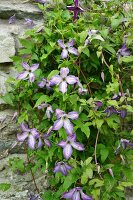 Purple-flowering clematis growing on rustic stone wall