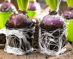 Hyacinth bulbs with soil and root balls