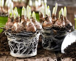 Narcissus bulbs with soil and root balls