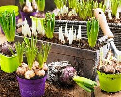 Various bulbs with soil and root balls in pots and window boxes