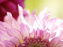 Detail of white and pink dahlia