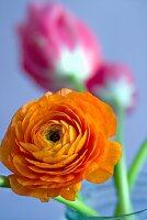 Orange ranunculus (close-up)
