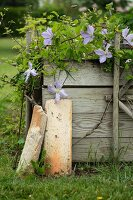 Raised bed of clematis and herbs in garden