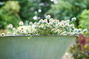 Many poppy seed pods in zinc tub in garden