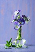 Violas in vase