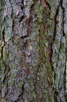 Pine trunk with slightly mossy bark