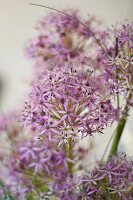 Allium flowers (close-up)