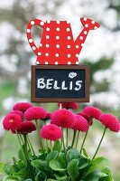 Bellis with decorative sign