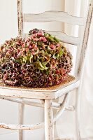 Hydrangea umbels on white, shabby-chic cane chair