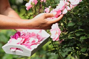 Fragrant damask roses in sunshine