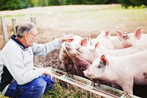 Farmer with free-range pigs at feeding trough