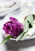 Purple tulip on white plate
