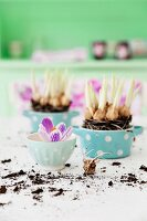 Flowering crocus bulbs planted in blue polka-dot pots