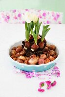 White tulips planted in blue ceramic bowl surrounded by flower bulbs
