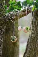 Tiny succulents planted in snails' shells hanging from branch