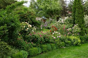 Profusely flowering roses with box edging in garden in South Tyrol, Italy