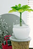 Palm tree house plant in white pot