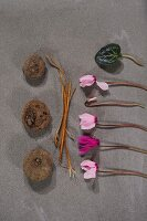 Bulbs, stems and row of pink cyclamen flowers on stone surface