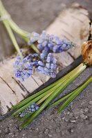 Grape hyacinth flowers and bulbs on birch bark