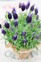 Spanish lavender in a pot