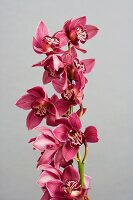 Pink orchid (Cymbidium) against grey background
