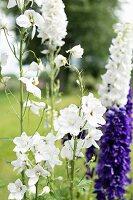 Splendid white and purple flowers in summery garden