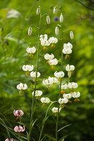 White-flowering Turk's cap lilies