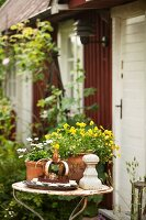 Daisies and yellow violas in terracotta pots on vintage garden table in front of simple wooden house