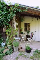 Old, vine-covered shed and old folding chairs and table on paved terrace with potted bay tree and lavender in foreground