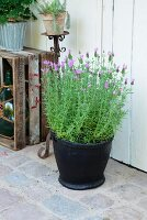 French lavender in planter made from old tyre in front of plant on rusty iron candlestick next to wine crate on rustic terrace
