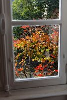 View of tree with colourful autumn leaves through window